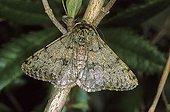 Pale Brindled Beauty (Apocheima pilosaria) male