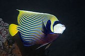 Emperor angelfish, (Pomacanthus imperator), fish, Checkerboard wrasse, Bali, island, Lesser Sunda Islands, Bali Sea, Indonesia, Indian Ocean, Asia