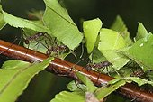 Leaf cutter ants, Costa Rica, Central America
