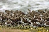 Flock of dunlins (Calidris alpina) on a beach, Oosterschelde, Zeeland, Netherlands