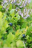 Wild blueberries in the summer in the Monts Dore in Auvergne