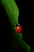 Sevenspotted lady beetle on a sheet of Spathiphyllum