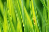 Sawfly larvae on a blade of grass along the Loire