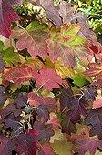 Autumn foliage of oakleaf hydrangea in a garden ; Designer: Pierre-Alexandre RISSER