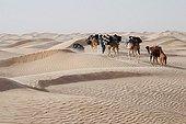 Caravan of Camels in the Tunisian desert