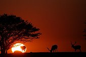 Fallow dears grazing at sunset in Sweden