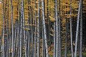 Japanese larches forest in autumn  Belgium