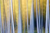 Image motion of japanese larches forest in autumn  Belgium