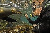 Fur Sealion, playing with diver, Arctocephalus-Galapagonensis, South-Plaza-Island, Ecuador, Pacific Ocean