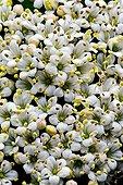 Viorne lantane en fleur en Catalogne  Espagne