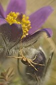 Spider crab on a Pasque flower in Lorraine France