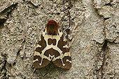 Garden Tiger Moth (Arctia caja)