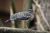 Sunbittern (Eurypyga helias), adult, perched on a lookout, South America