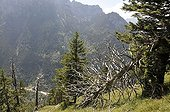 Coniferous forest with bark beetle infested dead trees on the Tegelberg mountain, Allgaeu, Bavaria, Germany, Europe