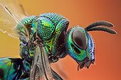 Portrait of a cuckoo Wasp Spain