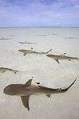 Blacktip Reef Shark  Aldabra Island Seychelles