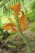 Hampe florale de Canna dans un jardin botanique Var France