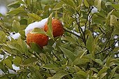 Oranges on the tree under snow in winter in Provence