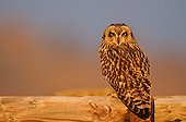 Short eared Owl perched on a railing in France
