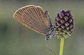 Dusky Large Blue (Glaucopsyche nausithous) on a Great Burnet (Sanguisorba officinalis)
