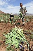 Residents of Hlaout village planting organic German Irises (Iris germanica), grown for use in natural cosmetics in Europe, Ait Inzel Gebel region, Atlas Mountains, Morocco, Africa