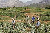 Group of men from Iwasoudane village harvesting the rhizomes of organically grown German Irises (Iris germanica) with a hoe, for use in natural cosmetics in Europe, Ait Inzel Gebel region, Atlas Mountains, Morocco, Africa