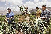 A group of male residents of the village of Iwasoudane harvesting the rhizomes of organically grown Irises (Iris germanica) with sickles on terraced fields for natural cosmetics in Europe, Ait Inzel Gebel Region, Atlas Mountains, Morocco, Africa