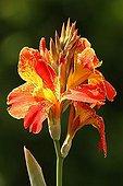 Saka Siri, Indian Shot or Canna (Canna indica) flowers, Germany