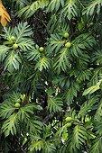 Breadfruit (Artocarpus altilis), fruit-bearing tree, Nosy Be, Madagascar, Africa