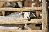White Domestic Goat (Capra hircus aegagrus), Puesto La Guascha, Gran Chaco, Salta, Argentina, South America