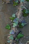 Ivy on the bark of a Sycamore Pyrenees Spain ; Can be differentiated aerial adventitious roots in climbing stems (these roots appear along the stems and allow the plant to attach to a substrate)