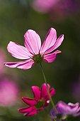 Cosmos in bloom in a garden
