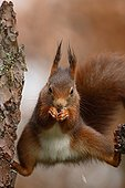 Red squirrel eating seeds Ardennes Belgium