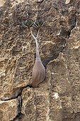 Socotra Desert Rose on cliff Socotra Yemen
