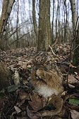 European Hare making its toilet in winter France