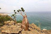 Socotra Desert Rose Bay Qadub Socotra Yemen