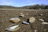 Swan mussels dead  on the pond bottom France ; Following the draining of the pond