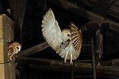Barn Owl in flight feeding Normandy France