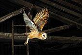 Barn Owl in flight in an attic Normandy France