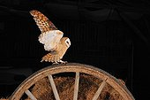 Barn Owl on a wooden wheel Normandy France