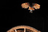 Barn owl flying out of a wooden wheel NormandyFrance