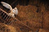 Barn Owl on straw Normandy France