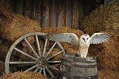 Barn Owl on a barrel Normandy France