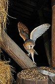 Barn Owl on a beam Normandy France