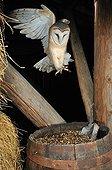 Barn owl landing on a barrel Normandy France