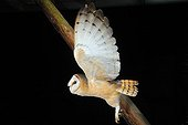 Barn Owl in flight in front of a beam NormandyFrance