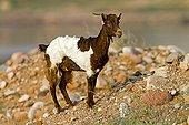 Chèvre domestique sur l'île de Socotra au Yémen