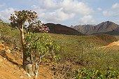 Desert Rose on the Homhil plateau of Socotra Island