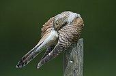 Common Cuckoo female grooming in summer Denmark