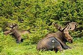Elans mâles en velours couchés en été en Alaska